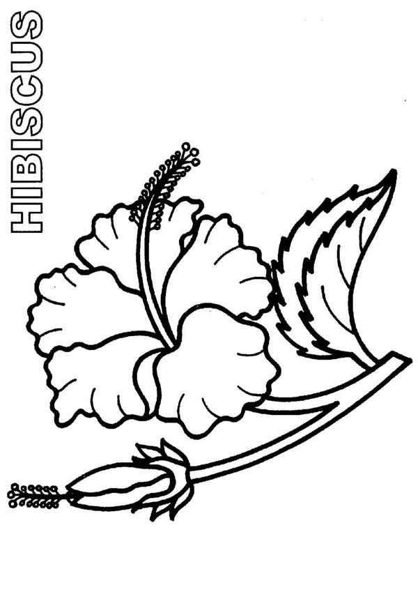 Hibiscus Flower, : Bloom and Burgeon Hibiscus Flower Coloring Page