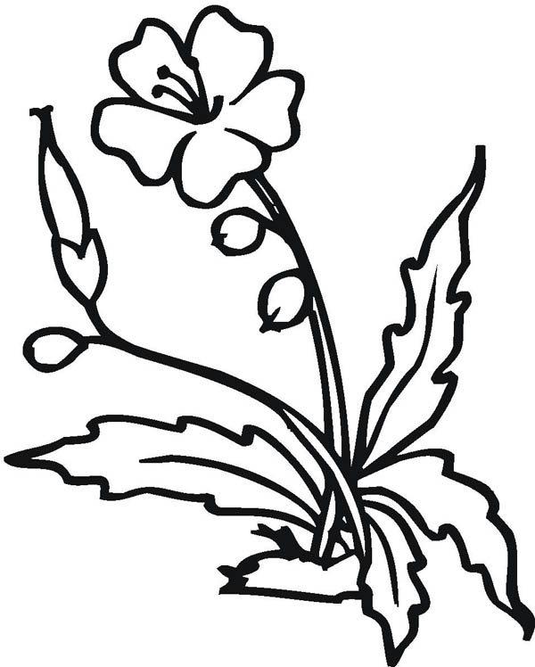 Hibiscus Flower, : Blooming Hibiscus Flower Coloring Page