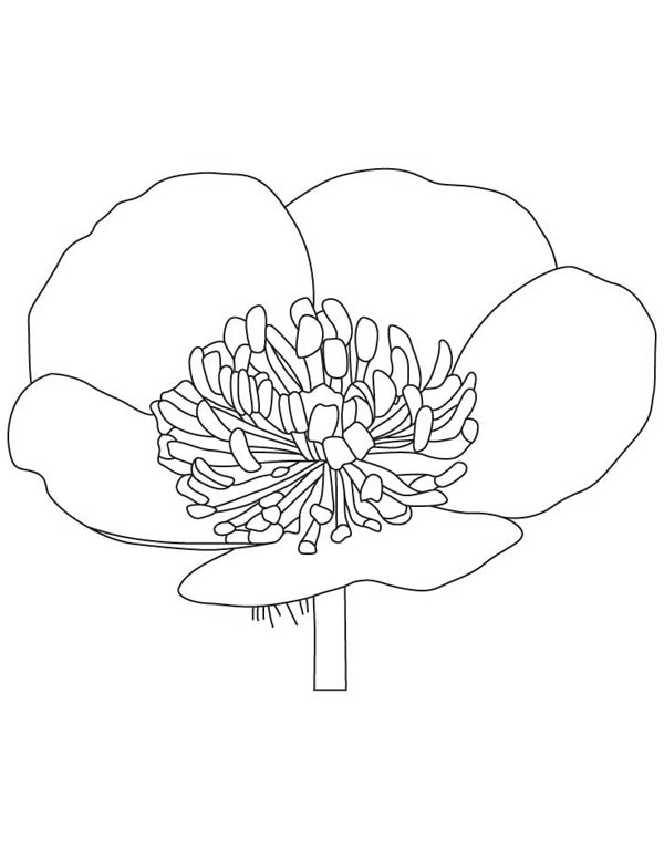 Buttercup flower coloring page color luna for Buttercup flower coloring pages