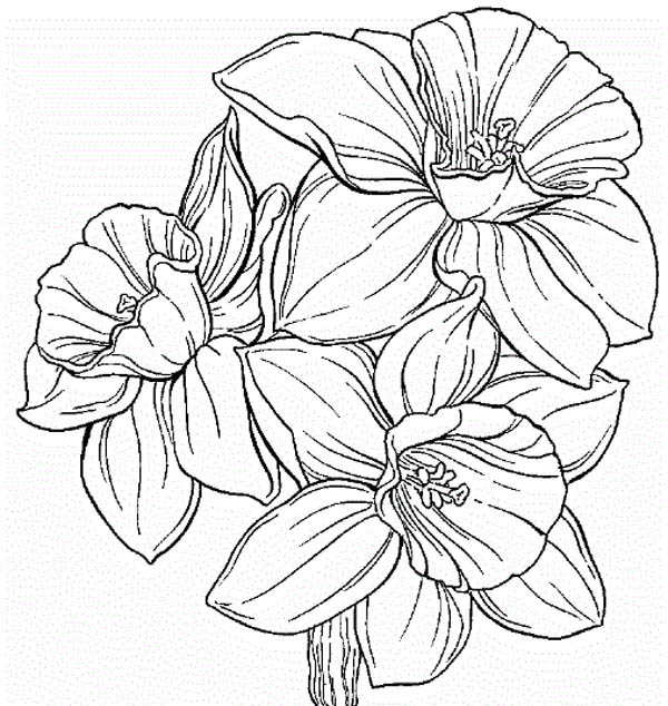 Daffodil Flower Coloring Page Hibiscus