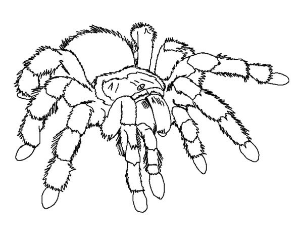 Spider, : Giant Tarantula Spider Coloring Page
