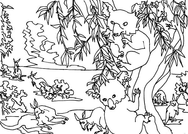 Koala Bear, : Koala Bear Picture Coloring Page
