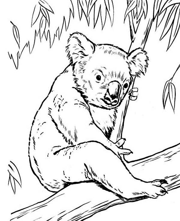 Koala Bear, : Koala Bear on Eucalyptus Tree Coloring Page