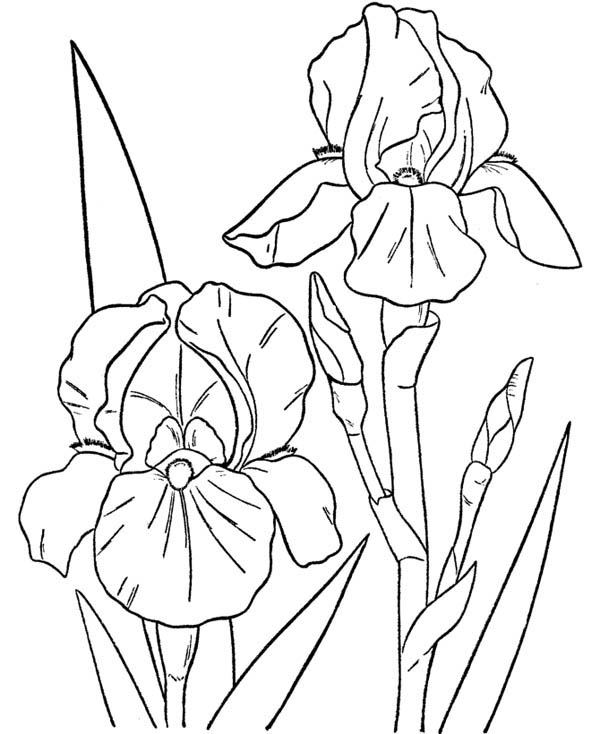 Hibiscus Flower, : Orchid Flower Coloring Page