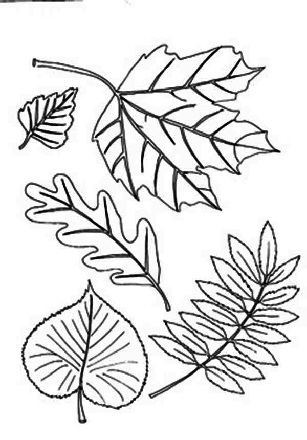 Fall Leaf, : Type of Aurumn Fall Leaf Coloring Page