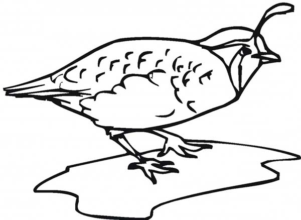 Quail, : Amazing Drawing of Quail Coloring Page