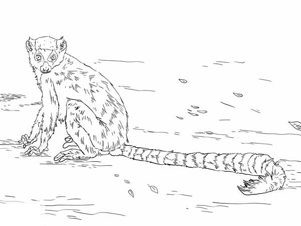 Lemur, : Awesome Ring Tailed Lemur Coloring Page