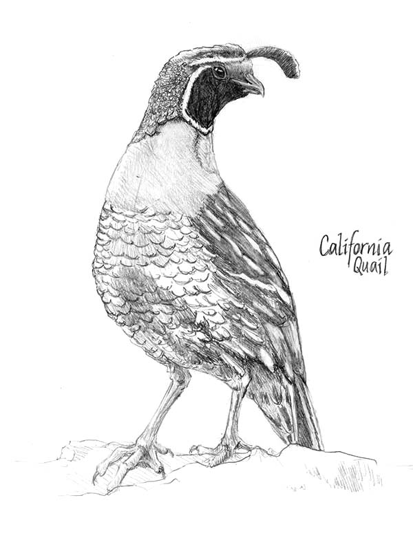 Beautiful California Valley Quail Coloring Page