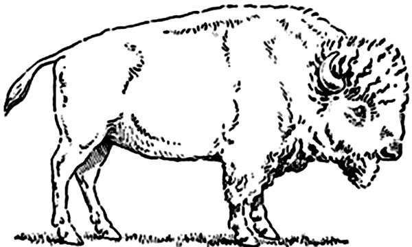 Bison picture coloring page color luna for Bison coloring pages