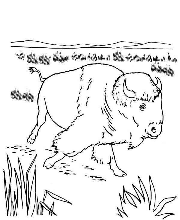 Bison, : Bison at the Meadow Coloring Page