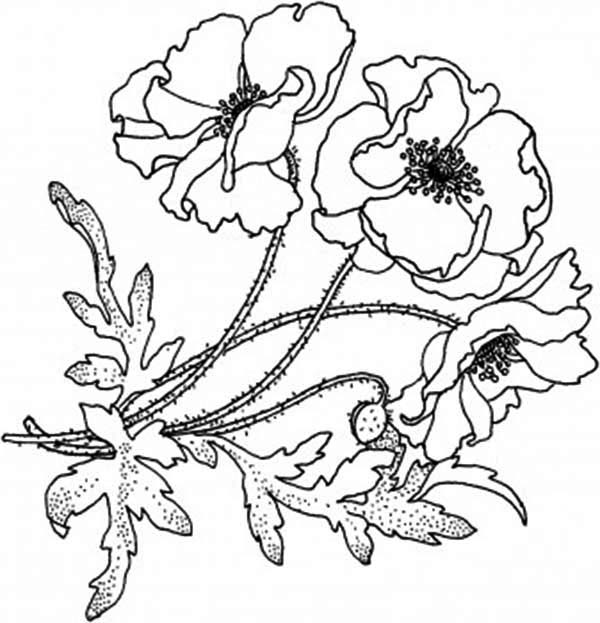 Poppy, : Blooming Golden Poppy Coloring Page