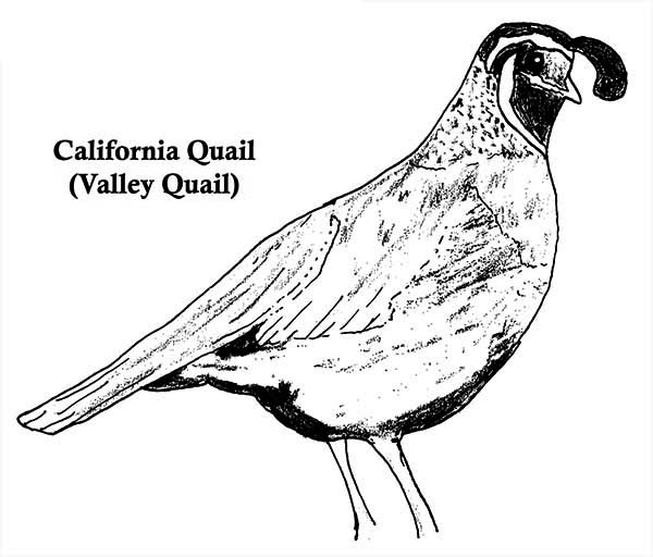 california quail coloring page  california quail coloring