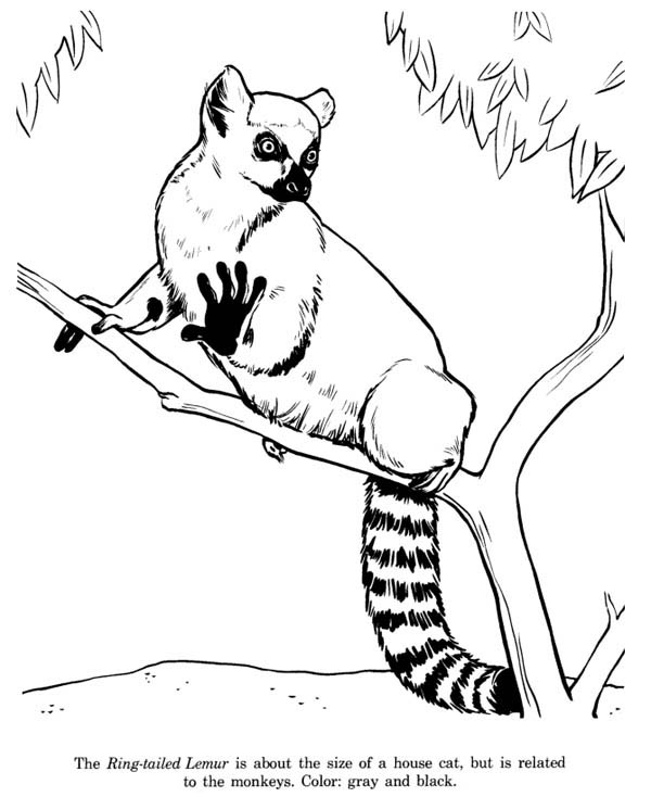 Lemur, : Cat Sized Ring Tailed Lemur Coloring Page