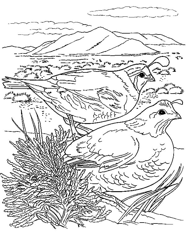Quail, : Couple of California Quail Coloring Page