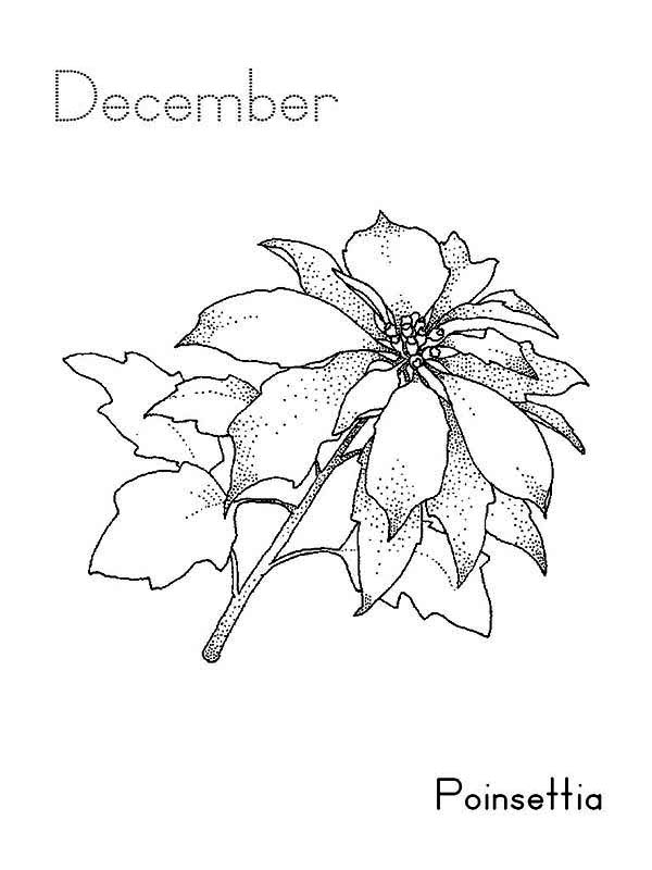 Poinsettia, : December Poinsettia Coloring Page