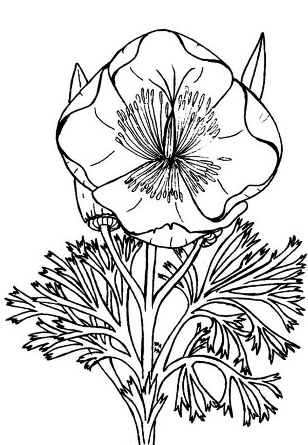 Poppy, : Eschscholzia California Poppy Coloring Page