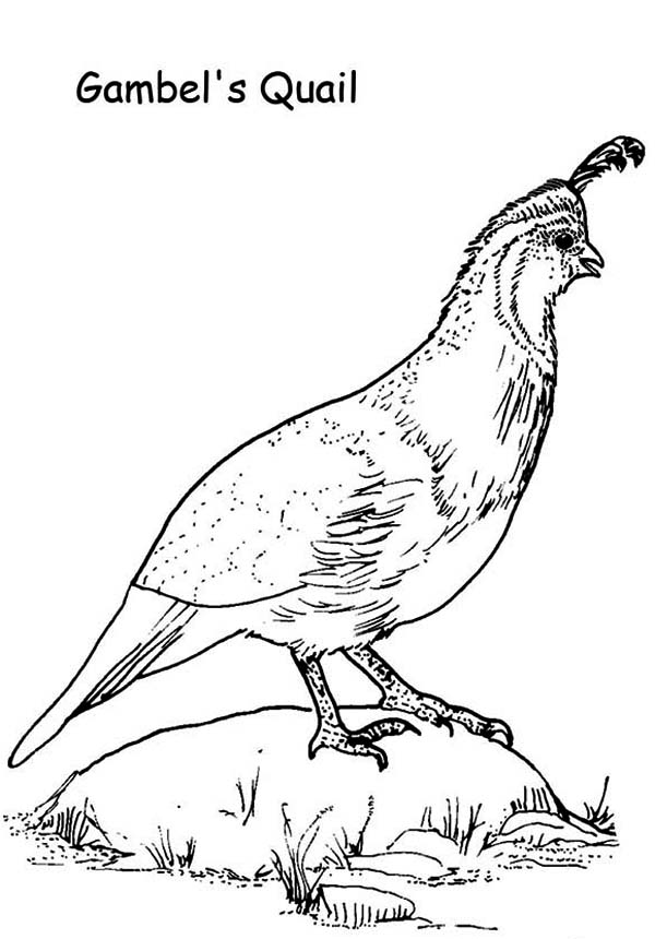Gambel Quail Coloring PageQuail Coloring Page