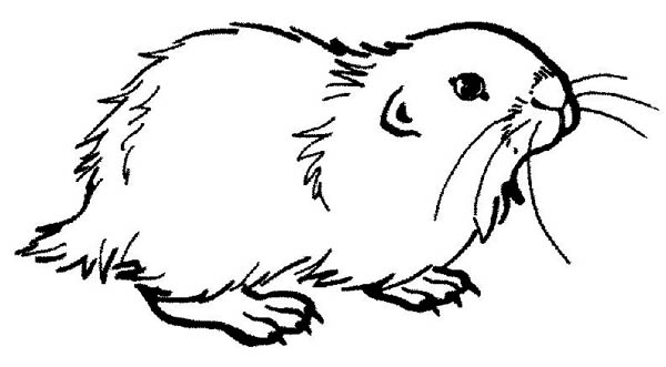 Guinea Pig, : Guinea Pig Coloring Page