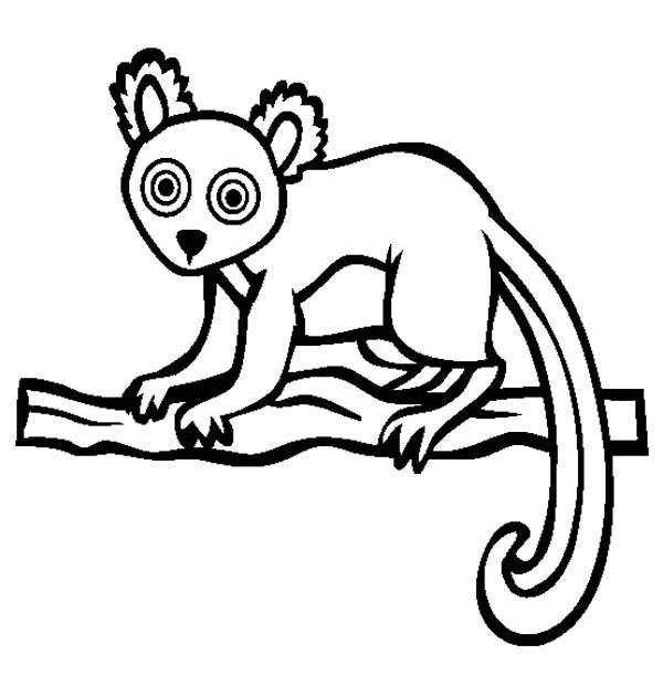 Lemur, : Hairy Eared Lemur Coloring Page