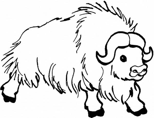 Bison, : Hairy Male Bison Coloring Page