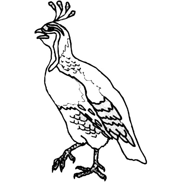 hungry quail coloring page  hungry quail coloring page