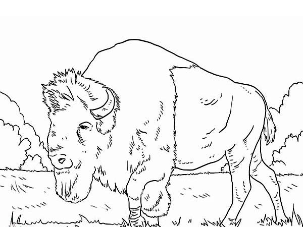 Bison, : Long Beared Bison Coloring Page