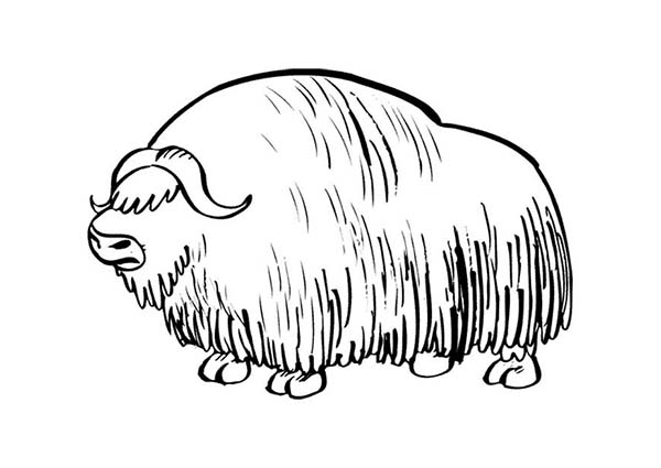 Bison, : Long Haired Bison Coloring Page