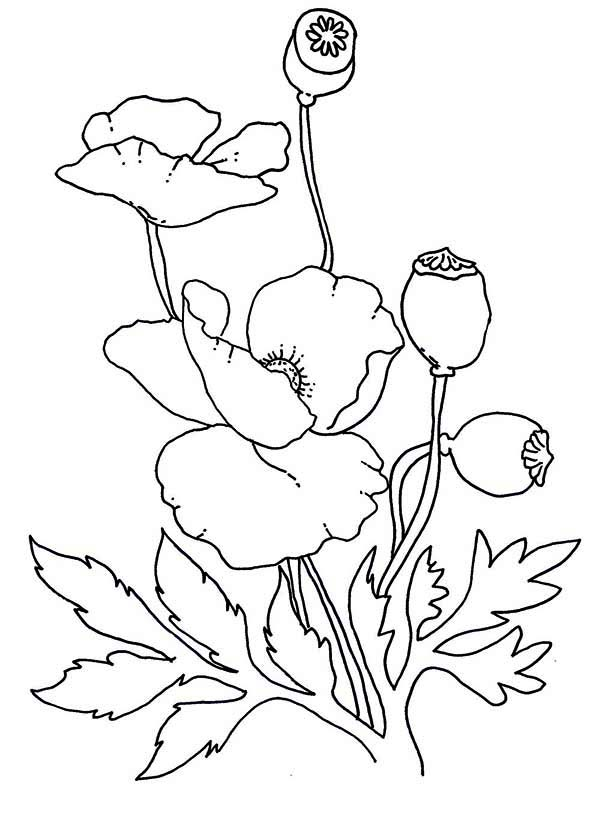 Poppy, : Lovely Poppy Drawing Coloring Page