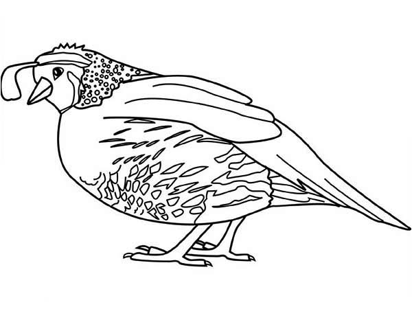 Quail, : New World Quail Coloring Page