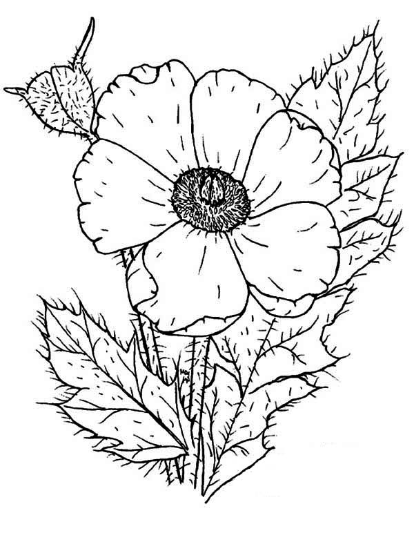 Poppy, : Photo of Poppy Coloring Page