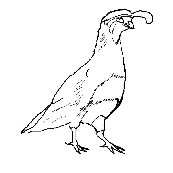 Quail, : Picture of Gambels Quail Coloring Page