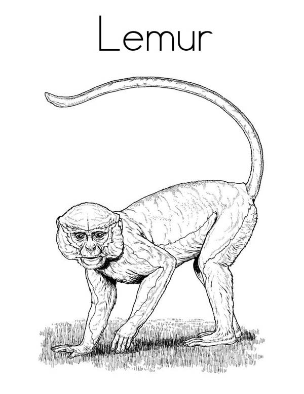 Picture of Lemur Coloring Page Color Luna