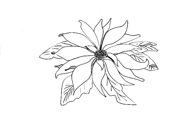 Poinsettia, : Picture of Poinsettia Coloring Page