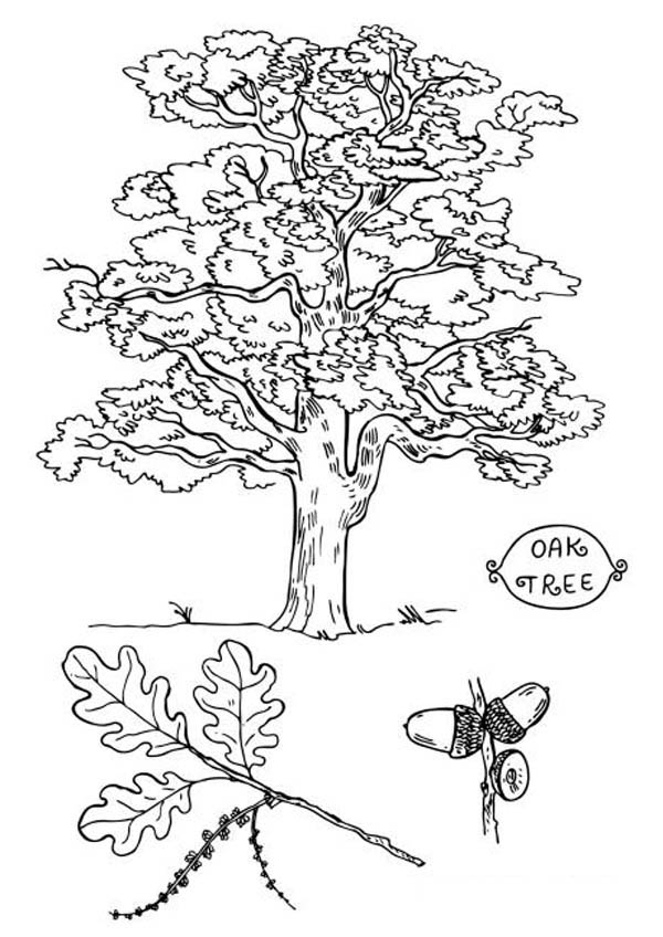 Oak Tree, : Picture of an Oak Tree Coloring Page