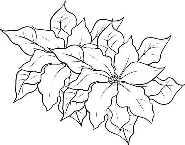 Poinsettia, : Poinsettia Coloring Page