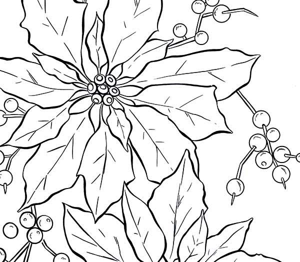 Poinsettia, : Poinsettia Fruit Coloring Page