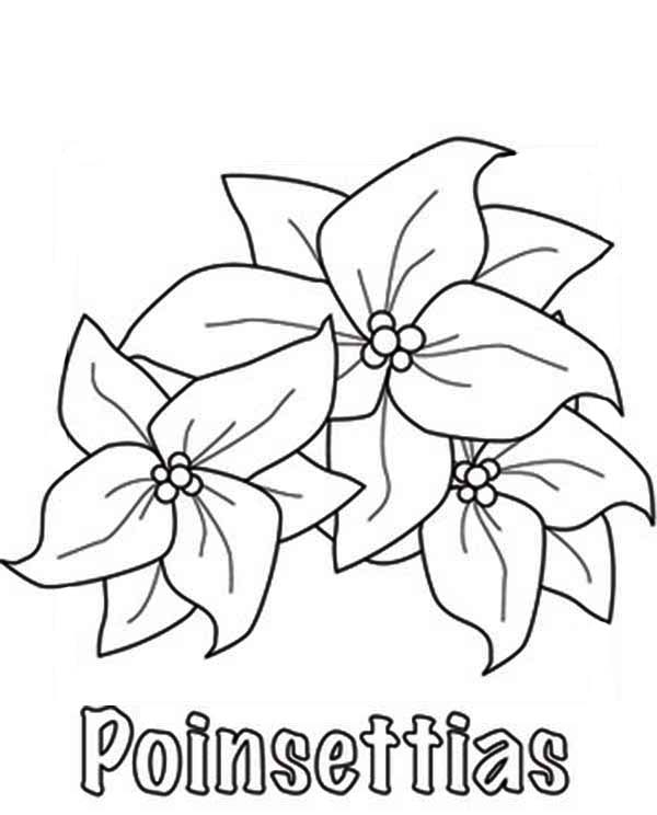 Poinsettia, : Poinsettia Picture Coloring Page