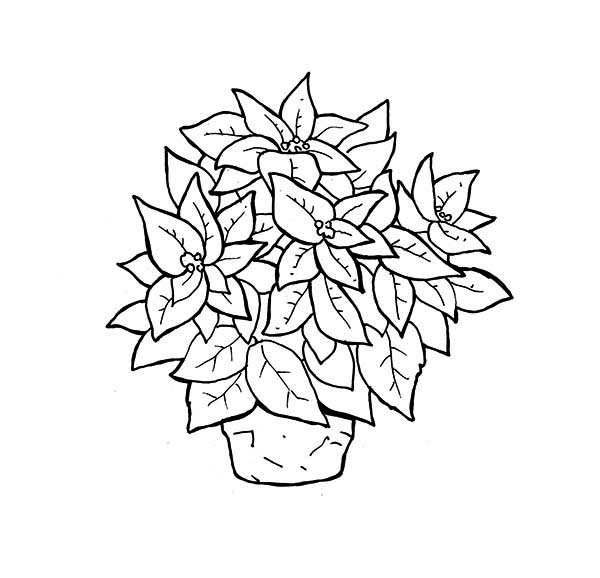 pointsetta coloring page