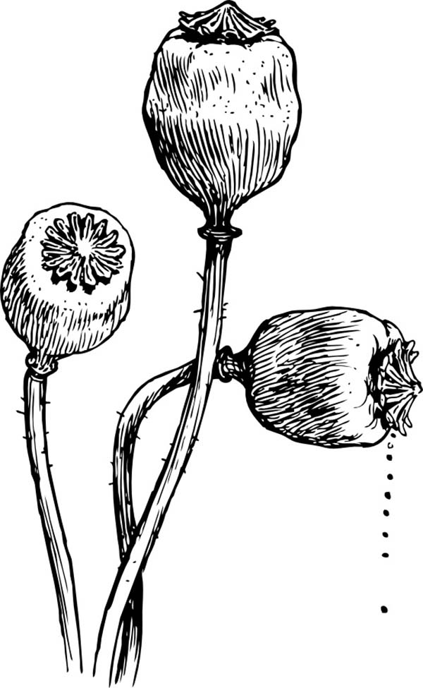 Poppy Flower Head Coloring Page | Color Luna
