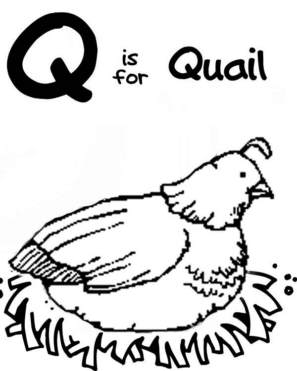 Q is for Quail Coloring Page  Color Luna
