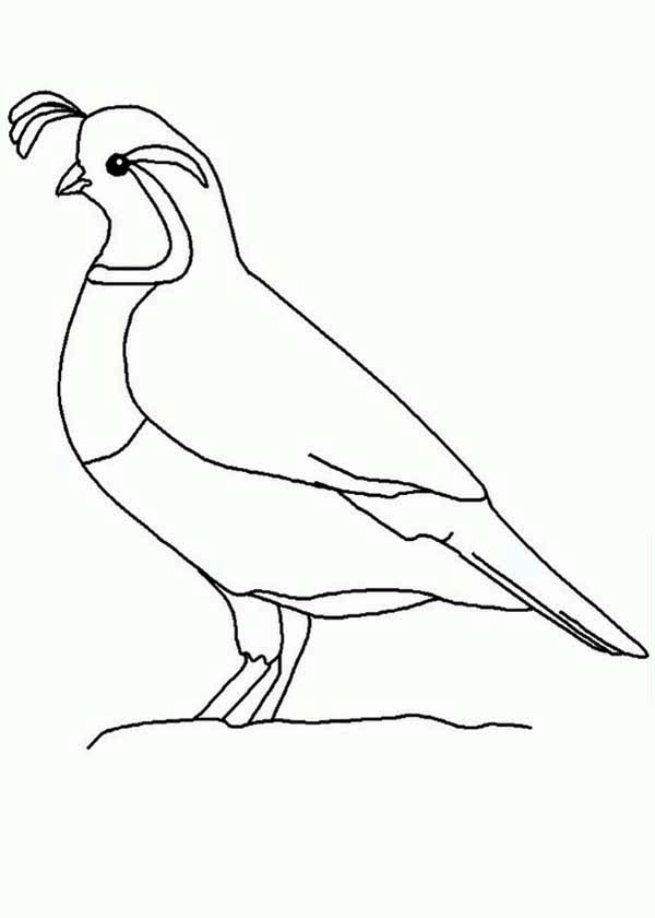 Quail, : Quail Outline Coloring Page