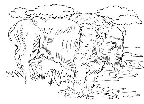 Bison, : Realistic Picture of Bison Coloring Page