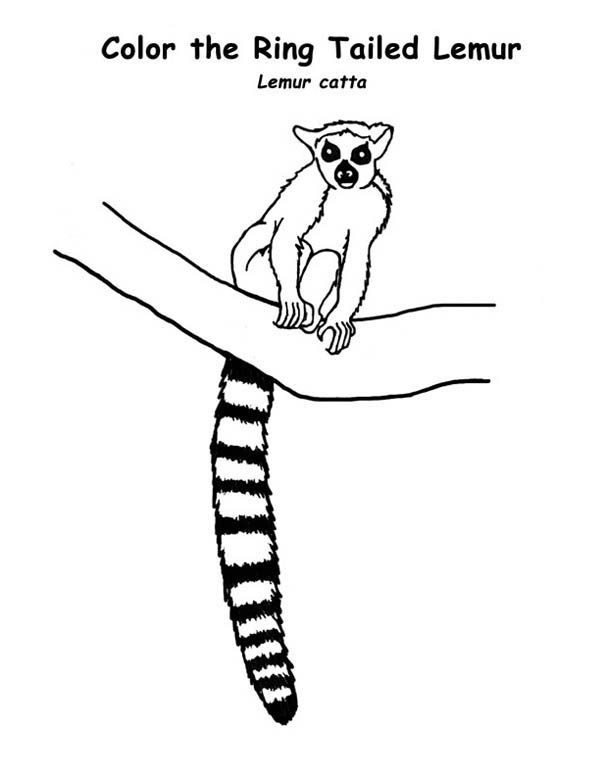 Lemur, : Ring Tailed Lemur on the Tree branch Coloring Page