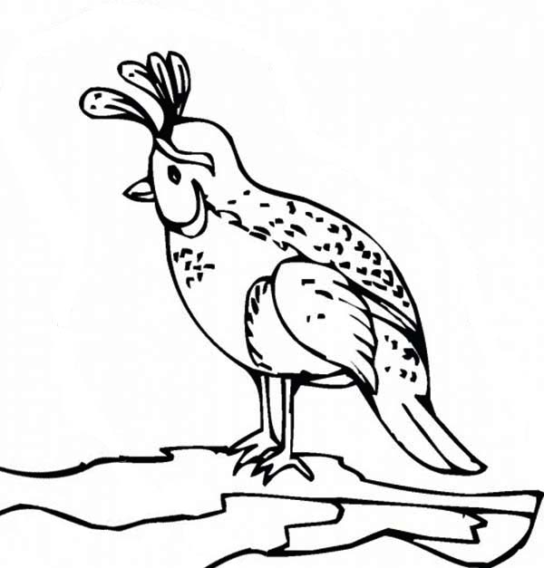 California Valley Quail Coloring Page