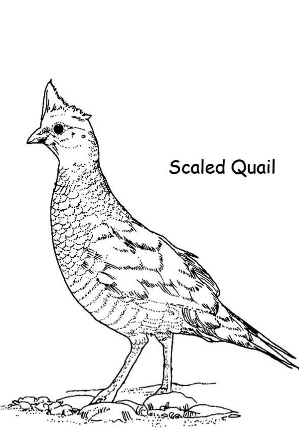 Quail, : Scaled Quail Coloring Page