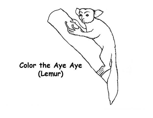Lemur, : The Aye Aye Lemur Coloring Page