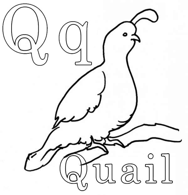 the king quail coloring page  the king quail coloring page
