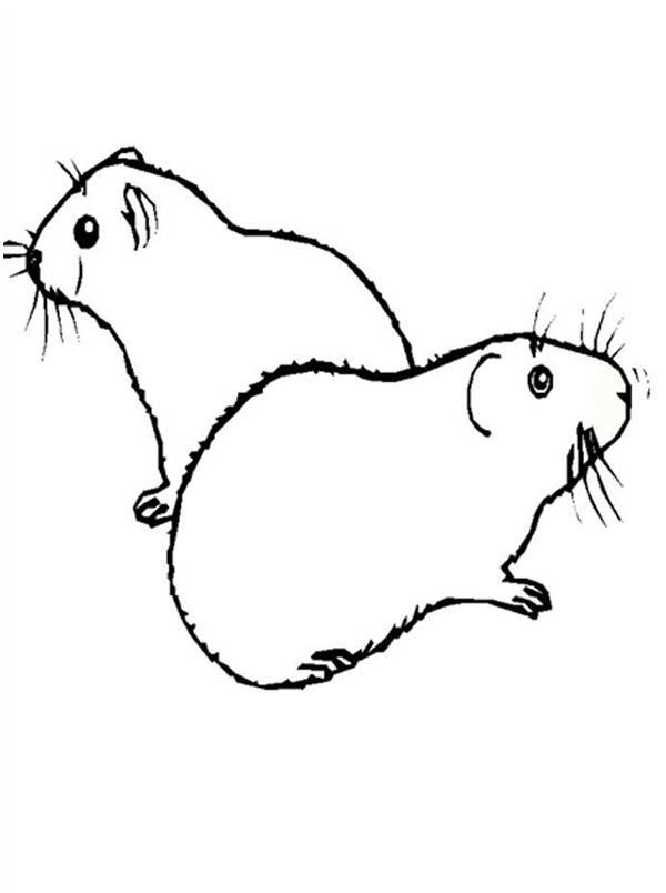 Guinea Pig, : Two Guinea Pig Coloring Page