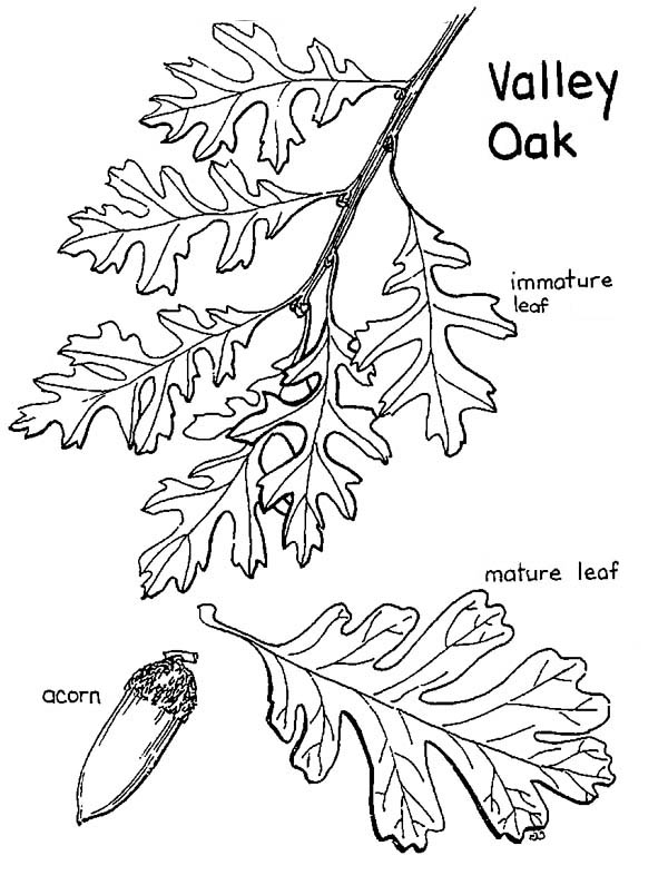 Oak Tree, : Valley Oak Tree Leaves and Fruit Coloring Page