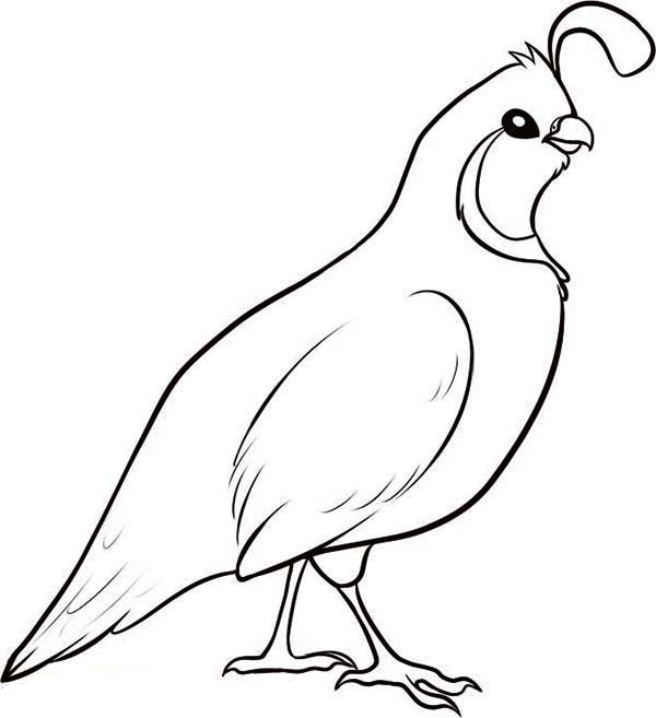 Valley Quail Coloring PageQuail Coloring Page